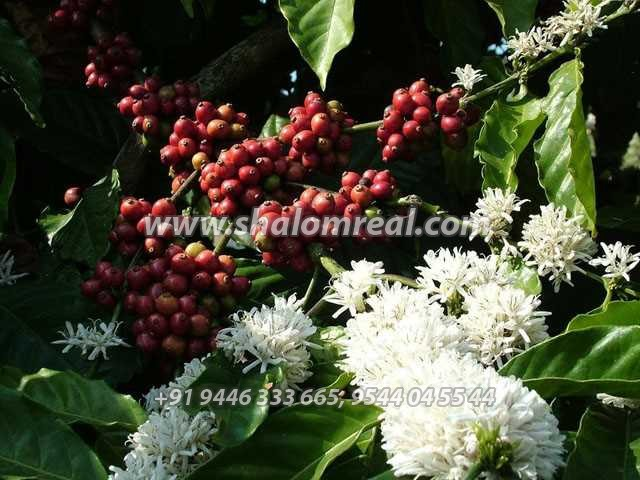 400 acre coffee plantation and One Leading resort for sale ...